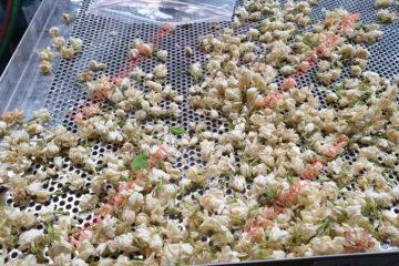 Hoa nhài sấy khô trên máy sấy lạnh, đảm bảo khô nhanh, màu đẹp