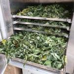Máy sấy trà thảo mộc, thảo dược, bảo toàn dưỡng chất, màu sắc